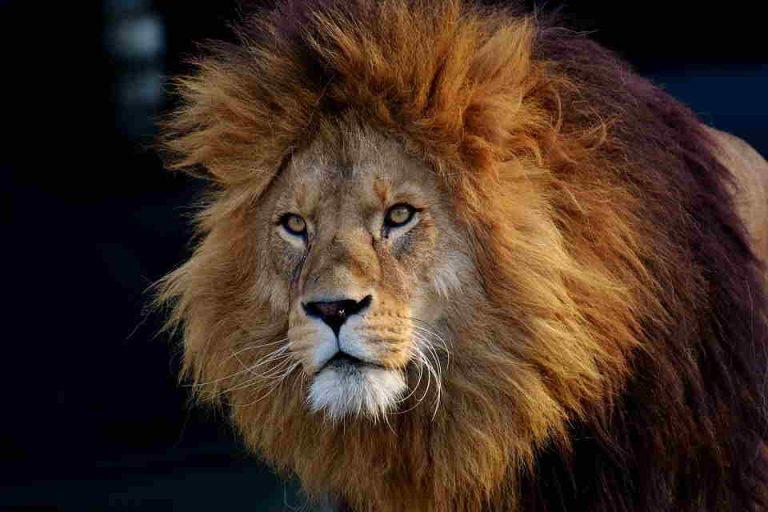Soñar con leon